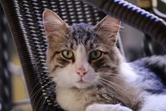 Ernstige Cat Resting stock afbeelding