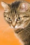 Ernstige gestreepte katkat Stock Afbeelding