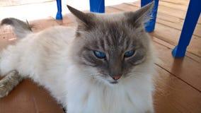 Ernstige jager, blauw-eyed vechtersmuizen Het beeld werd genomen in Augustus, 2018 stock foto's