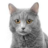Ernstige kat Stock Foto