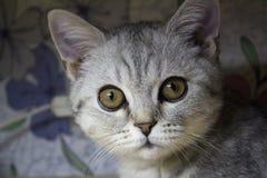 Ernstige kat Royalty-vrije Stock Afbeeldingen