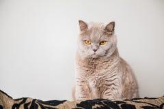 Ernstige lilac Britse kat Stock Afbeeldingen