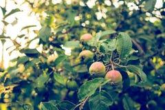 Ernte der Äpfel Der Apfelbaum im Strahl der Abendsonne Stockfotografie