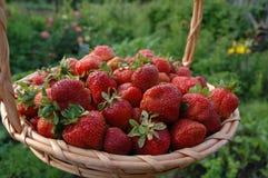 Ernte der Erdbeeren stockfoto