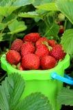 Ernte der Erdbeeren Stockfotos