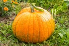 Ernte der Herbstkürbise Lizenzfreies Stockfoto