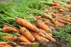 Ernte der Karotten lizenzfreies stockfoto