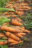 Ernte der Karotten stockbild