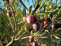 Ernte der Oliven stockbild