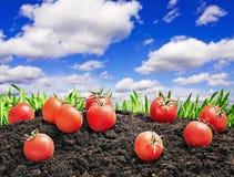 Ernte der reifen roten Tomate stockbild