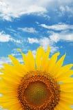 Ernte der Sonnenblume lizenzfreie stockbilder