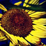 Ernte der Sonnenblumen Stockbild