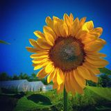 Ernte der Sonnenblumen Lizenzfreie Stockfotografie