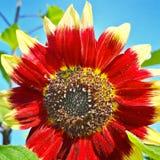 Ernte der Sonnenblumen Stockfotografie