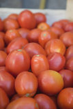 Ernte der Tomaten Lizenzfreie Stockbilder