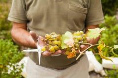 Ernte der weißen Trauben holded durch Landwirthände Stockfoto