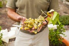 Ernte der weißen Trauben holded durch Landwirthände Stockbilder
