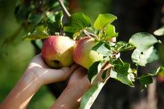 Ernte des Apfels Stockbild