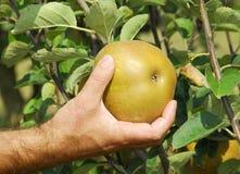 Ernte des Apfels Lizenzfreie Stockfotos