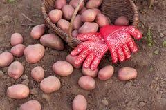 Ernte des Gemüses Lizenzfreies Stockbild