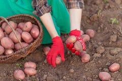 Ernte des Gemüses Lizenzfreie Stockfotos