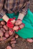 Ernte des Gemüses Lizenzfreie Stockfotografie