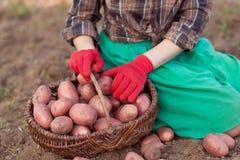 Ernte des Gemüses Stockfoto