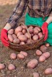 Ernte des Gemüses Lizenzfreies Stockfoto