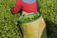 Ernte des grünen Tees morgens Lizenzfreie Stockfotos