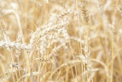 Ernte des Weizen-(Triticum) bereit zur Ernte. Lizenzfreie Stockfotos