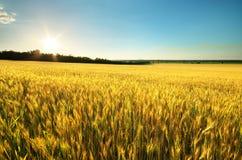 Ernte des Weizens Lizenzfreie Stockfotografie