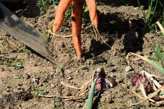 Ernte: ein Graben mit Karotten und Zwiebeln einer Schaufel Lizenzfreie Stockbilder