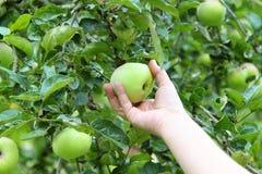 Ernte eines Apfels Stockfotografie
