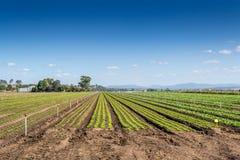 Ernte-Felder, blauer Himmel des freien Raumes Stockfoto