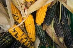Ernte-indischer Mais-Hintergrund Stockfotografie