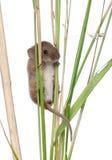 Ernte-Maus, die auf Blatt des Grases steigt lizenzfreies stockbild