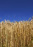 Ernte (nützlicher Hintergrund) stockfoto