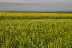 Ernte- und Rapssamenfelder Stockfoto
