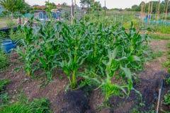 Ernte von Mais wachsend in den Zuteilungen Stockfotografie