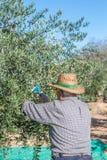 Ernte von Oliven Stockfotografie