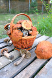 Ernte von Pilzen im braunen Korb Lizenzfreie Stockbilder