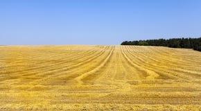 Ernte von reifen Getreide Lizenzfreies Stockbild