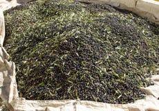Ernte von schwarzen Oliven Lizenzfreie Stockfotos
