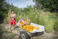 Ernte von Tomaten Im Sommer im Garten, ein Junge in einem wheelba stockfotografie