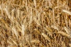 Ernte von Weizen Beschaffenheit des Weizens lizenzfreie stockfotos