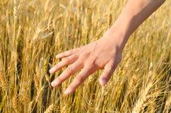 Erntekonzept von Handrührenden Weizenähren Stockfotos
