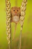 Erntemaus auf Weizen lizenzfreie stockfotos