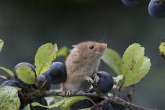 Erntemaus, Mäuse schließen herauf das Porträt, das auf Distel, Mais, Weizen, Brombeersträucher, Schlehe, Gänseblümchen, Blumen si Stockbilder