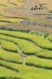 Ernten auf dem terassenförmig angelegten Paddygebiet Lizenzfreie Stockbilder