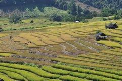 Ernten auf dem terassenförmig angelegten Paddygebiet Stockfotos